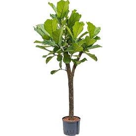 Fleur.nl - Ficus Lyrata op stam - hydrocultuur