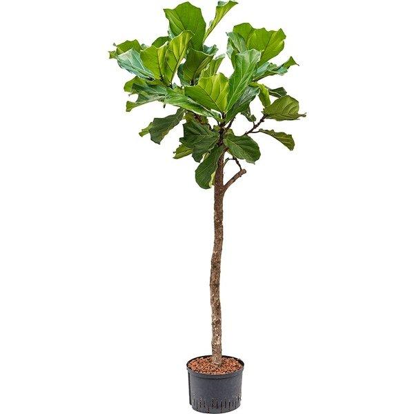 Ficus Lyrata op stam - hydrocultuur