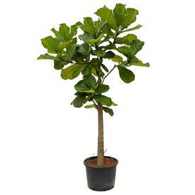 Fleur.nl - Ficus Lyrata op stam XL - hydrocultuur