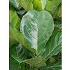 Ficus Lyrata op stam XXL - hydrocultuur