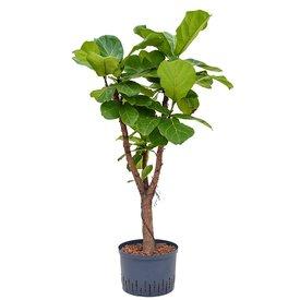 Fleur.nl - Ficus Lyrata vertakt - hydrocultuur