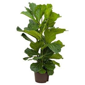 Fleur.nl - Ficus Lyrata Straight - hydrocultuur