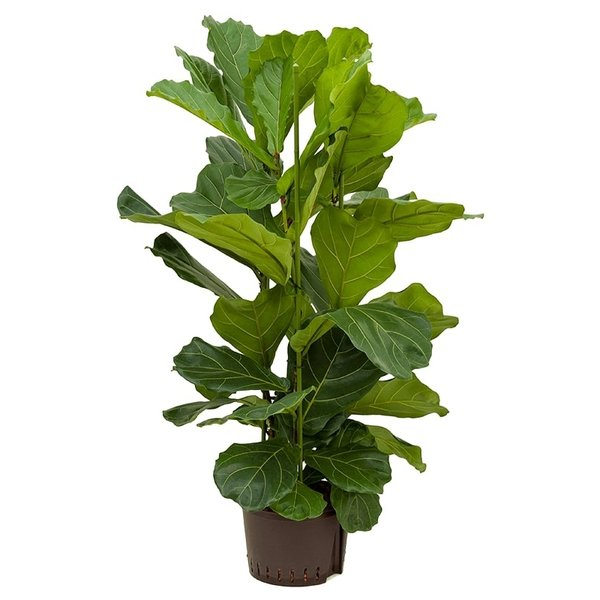 Ficus Lyrata Straight - hydrocultuur
