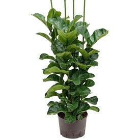 Fleur.nl - Ficus Lyrata Bambino - hydrocultuur