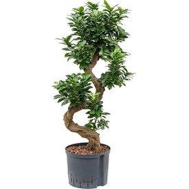 Fleur.nl - Ficus Bonsai Microcarpa Compacta - hydrocultuur