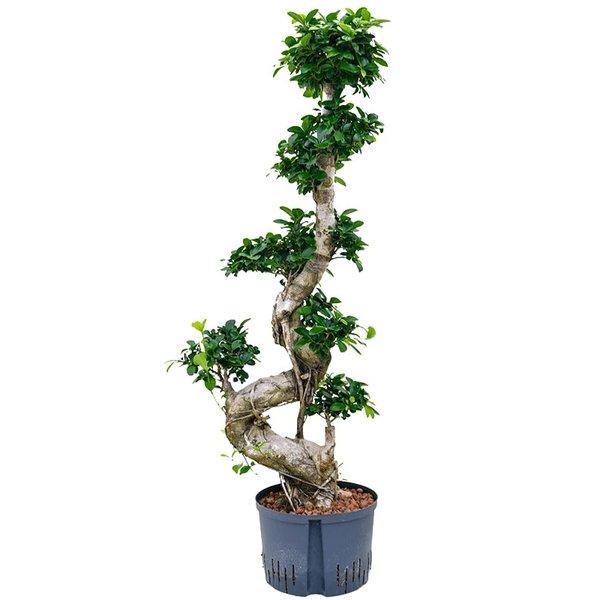 Ficus Bonsai Microcarpa Compacta Hydrocultuur Snel Online Bestellen Fleur Nl
