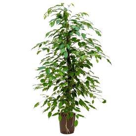 Fleur.nl - Ficus Benjamina - hydrocultuur