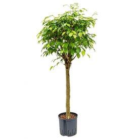Fleur.nl - Ficus Benjamina op stam - hydrocultuur