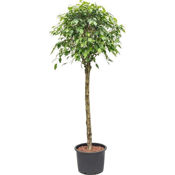 Ficus Benjamina op stam - hydrocultuur