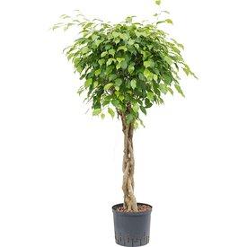 Fleur.nl - Ficus Benjamina op stam gevlochten - hydrocultuur