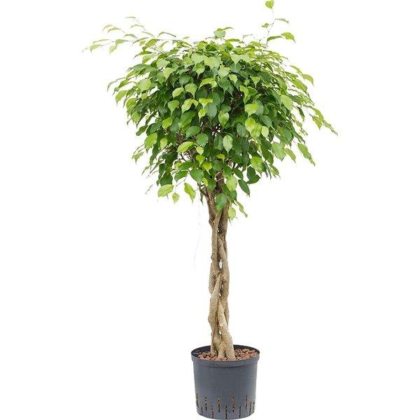 Ficus Benjamina op stam gevlochten - hydrocultuur
