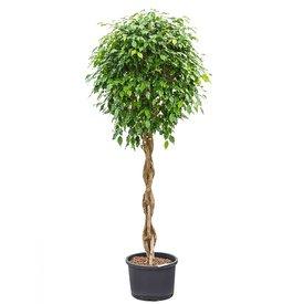 Fleur.nl - Ficus Benjamina op stam gevlochten XXL - hydrocultuur