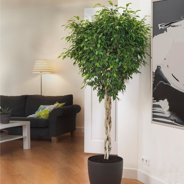 Ficus Benjamina op stam gevlochten XXL - hydrocultuur