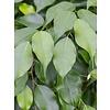 Ficus Benjamina spiraal - hydrocultuur