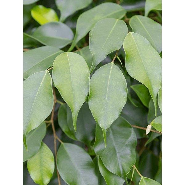 Ficus Benjamina spiraal XL - hydrocultuur