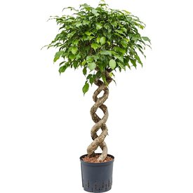 Fleur.nl - Ficus Benjamina spiraal XL - hydrocultuur