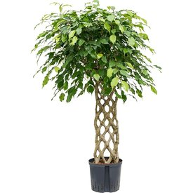 Fleur.nl - Ficus Benjamina gevlochten rek - hydrocultuur