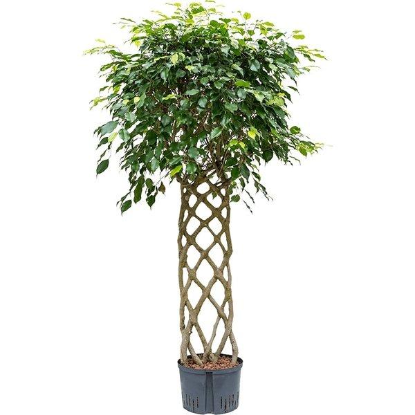 Ficus Benjamina gevlochten rek - hydrocultuur