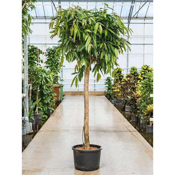 Ficus Amstel King op stam XL- hydrocultuur