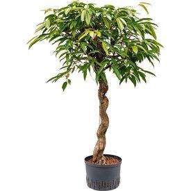 Fleur.nl - Ficus Amstel King op stam spiraal - hydrocultuur