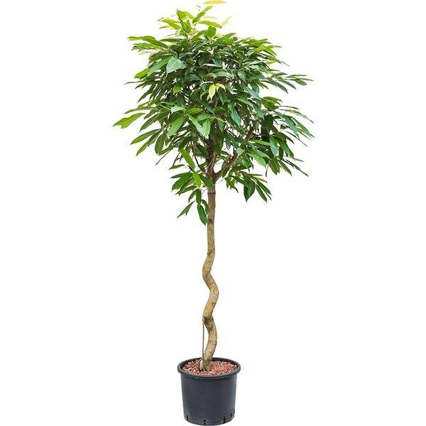 Ficus Amstel King op stam spiraal - hydrocultuur