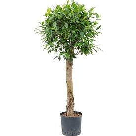 Fleur.nl - Ficus Nitida op stam - hydrocultuur