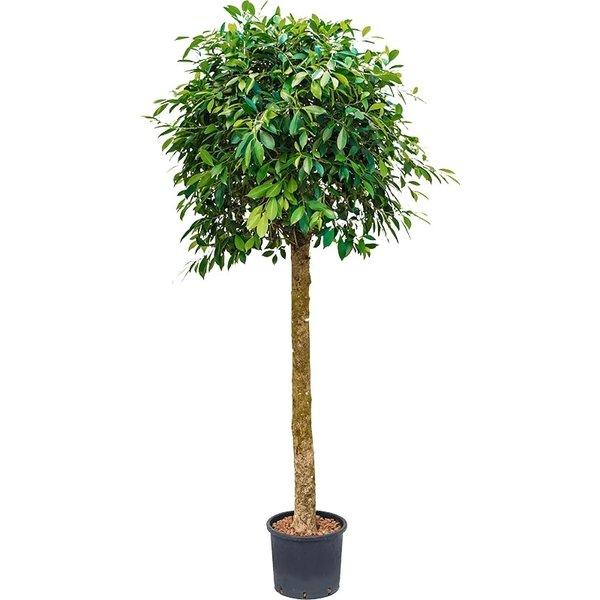 Ficus Nitida op stam - hydrocultuur