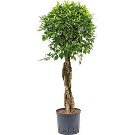 Fleur.nl - Ficus Nitida op stam gevlochten - hydrocultuur