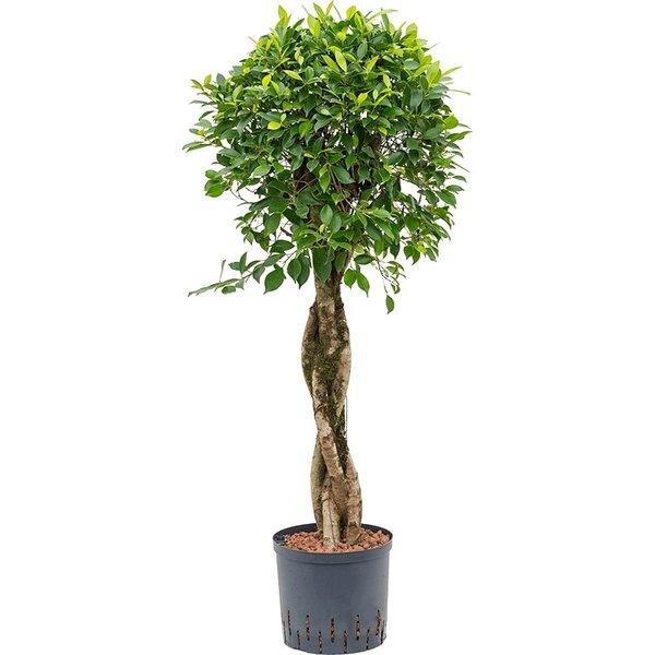 Ficus Nitida op stam gevlochten - hydrocultuur