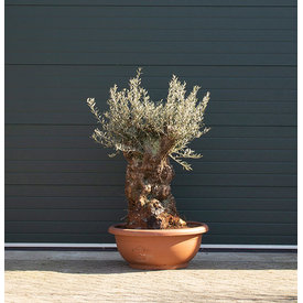 Fleur.nl - Olijfboom Bonsai schaal
