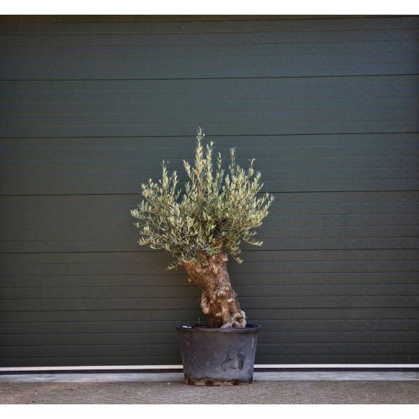 Olijfboom grillige stam