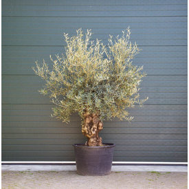 Fleur.nl - Olijfboom grillige stam
