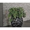 Philodendron Shangri-La Botany