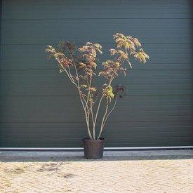 Fleur.nl - Albizia Julibrissin (Rode Perzische Slaapboom) - meerstammig