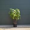 Ficus carica Vijgenboom - meerstammig