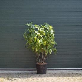 Fleur.nl - Ficus carica Vijgenboom - meerstammig