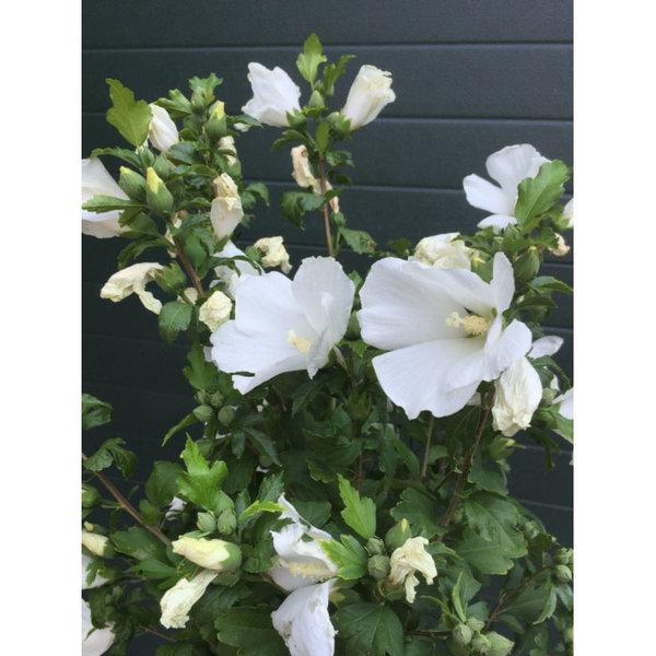 Hibiscus 'Bianco'
