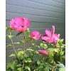 Hibiscus 'Woodbridge' - hoogstam