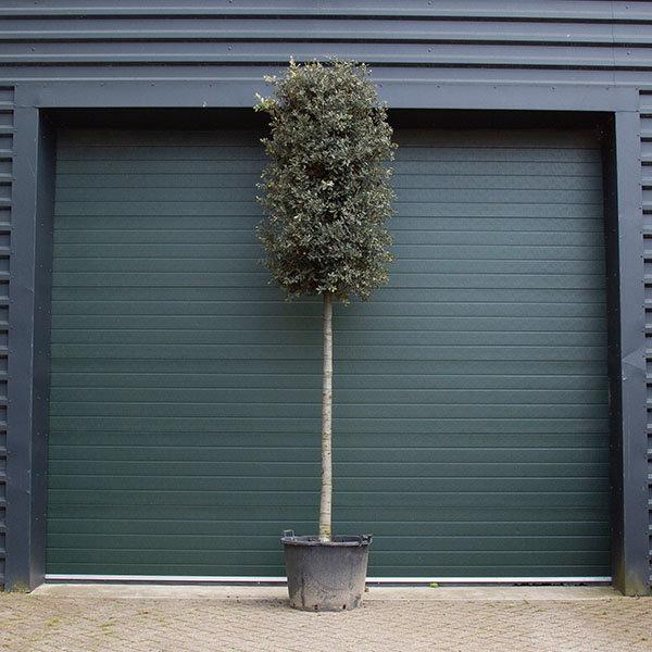 Quercus ilex Steeneik