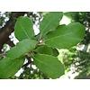Lei-steeneik 'Quercus Ilex'