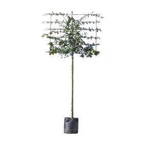 Fleur.nl - Lei-steeneik 'Quercus Ilex'