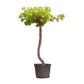 Fleur.nl - Vitis vinifera Druivenboom - dakvorm