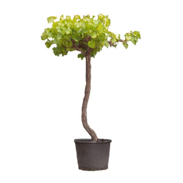 Vitis vinifera Druivenboom - dakvorm