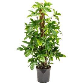 Fleur.nl - Philodendron Pedatum
