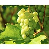 Vitis Vinifera 'Moscatel' op stam