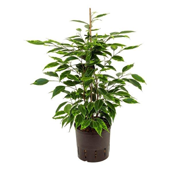 Ficus Anastacia - hydrocultuur
