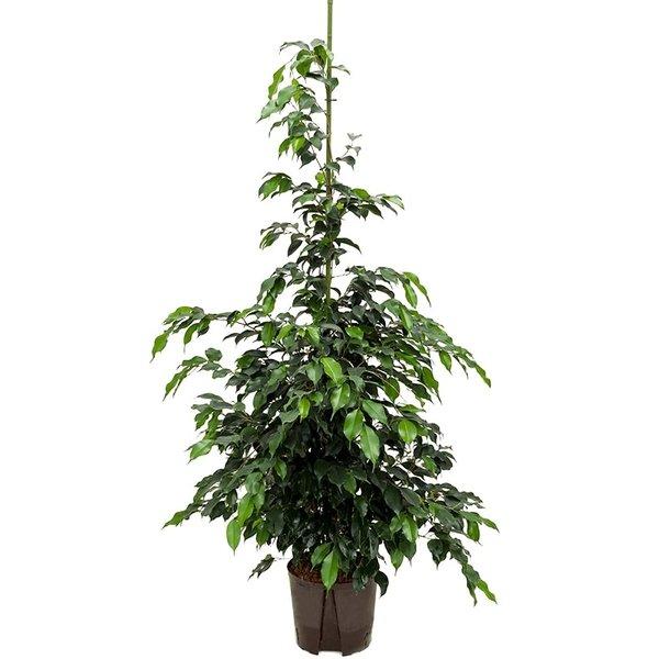 Ficus Danielle - hydrocultuur