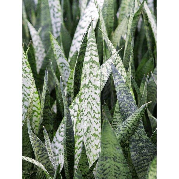 Sansevieria Zeylanica - hydrocultuur