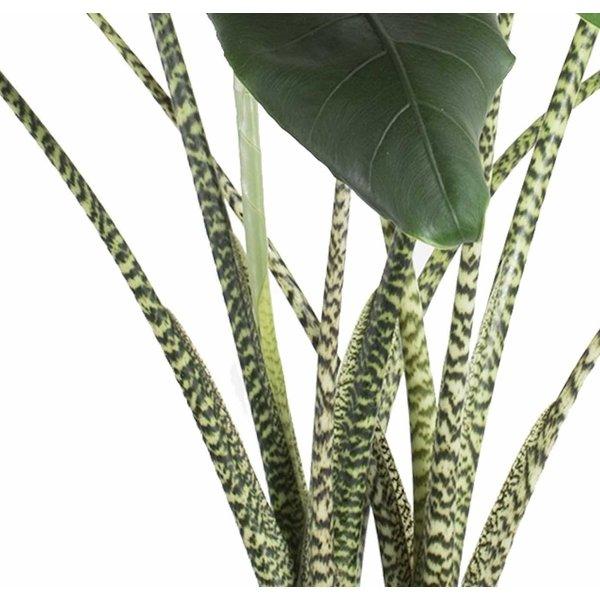 Alocasia Zebrina Large