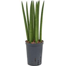 Fleur.nl - Sansevieria Cylindrica Straight - hydrocultuur